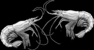 zwei Garnelen, die sich leicht berühren